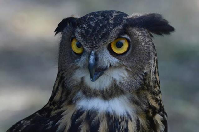 alberto lideo falconiere - foto falco 01 nella terra di ezzelino 2016.jpg