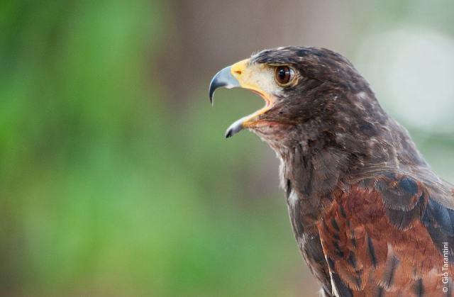 alberto lideo falconiere - foto falco 05 nella terra di ezzelino 2016.jpg